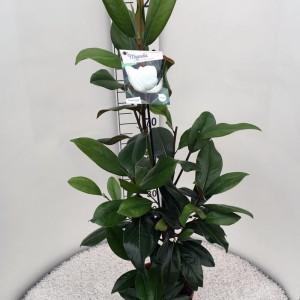 Magnolia grandiflora 'Galissonnière'
