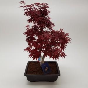 Acer palmatum 'Shoku-onomura'