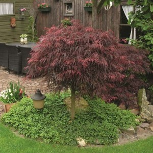 Acer palmatum 'Inaba-shidare' (Van Son & Koot BV)