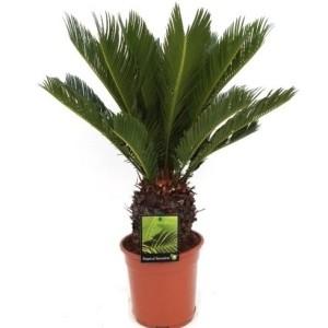 Cycas revoluta (RM Plants)