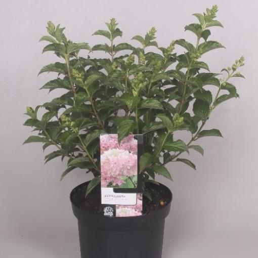 Hydrangea paniculata 'Pink Lady' (Jesper Mathot Potcultures)