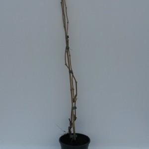 Parthenocissus quinquefolia 'Engelmannii' (WTM de Boer)