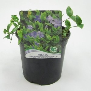 Vinca minor 'Aureovariegata' (WTM de Boer)