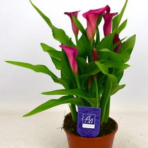 Zantedeschia 'Lipstick' (BB Plant)