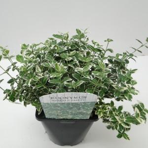 Euonymus fortunei 'Emerald Gaiety' (Hooftman boomkwekerij)