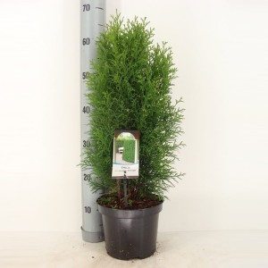 Thuja occidentalis 'Smaragd' (Bremmer Boomkwekerijen)