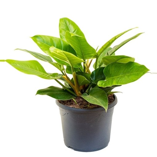Philodendron 'Imperial Green' (Nieuwkoop Europe B.V.)