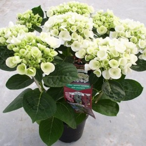 Hydrangea macrophylla HOVARIA HOLIBEL