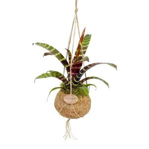 Bromelia MIX (Kokodama)