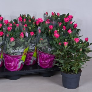 Rosa SAKI PARADE (Nolina Kwekerijen B.V.)