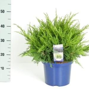 Juniperus x pfitzeriana 'Mint Julep' (Kwekerij Vredebest)