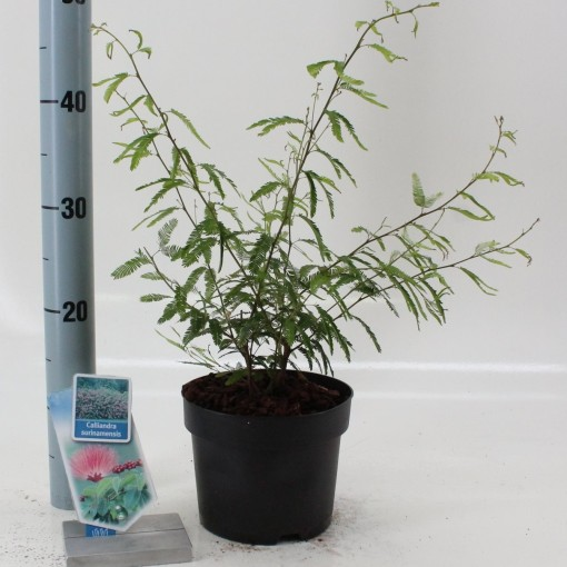 Calliandra surinamensis (About Plants Zundert BV)