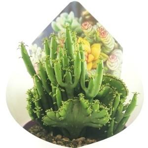 Euphorbia tirucalli cristata