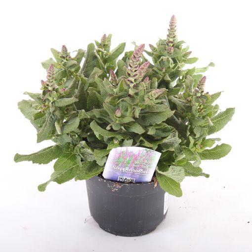 Salvia nemorosa MIX (Experts in Green)