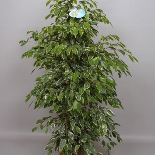 Ficus benjamina 'Golden King' (Peeters Potplanten)