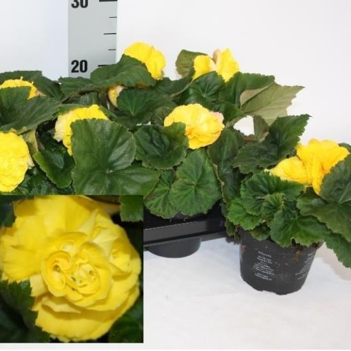 Begonia 'Fortune Yellow' (Van Dijk Potplanten)