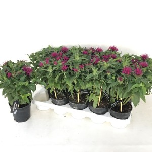 Monarda 'Balmy Purple'