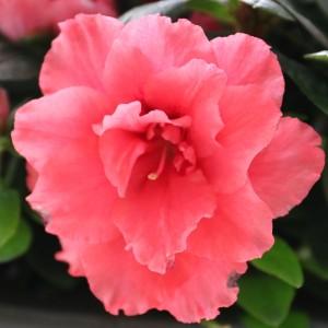 Rhododendron 'Vogel Luntera' (De Bruyne - Flandresse)