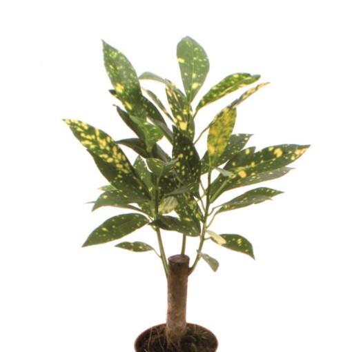 Codiaeum variegatum 'Aucubaefolia' (Gasa DK)