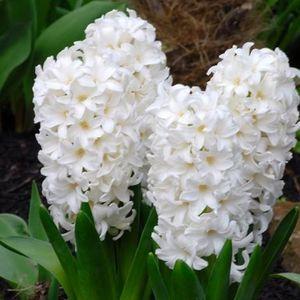 Hyacinthus orientalis FAIRY WHITE (Komen, Kwekerij MJ )