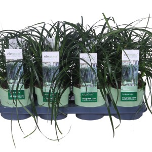 Carex RIBBON FALLS (Hoogeveen Plants)