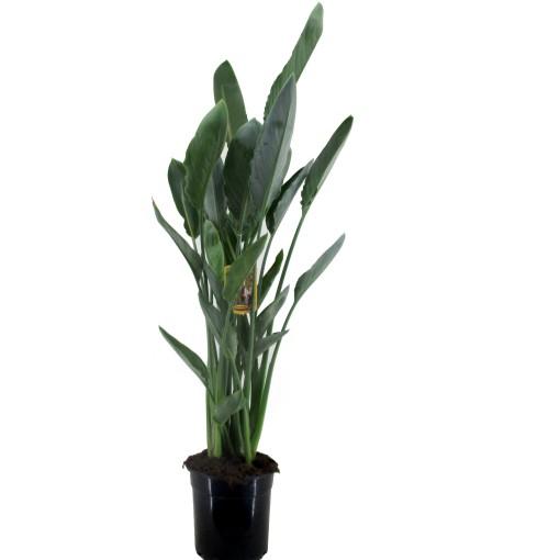 Strelitzia reginae (Luiten kwekerij)