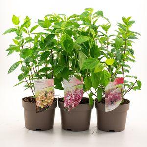 Hydrangea paniculata MIX