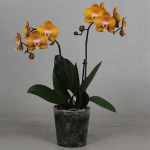 Phalaenopsis ANTHURA LAS VEGAS
