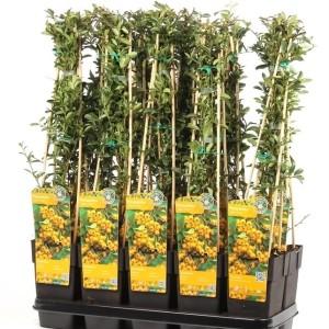 Pyracantha 'Soleil d'Or' (Hoogeveen Plants)
