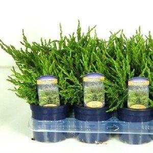 Juniperus communis 'Repanda' (Kwekerij Vredebest)