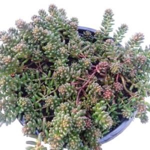 Sedum album 'Coral Carpet' (Experts in Green)