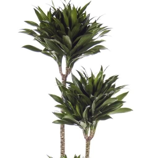 Dracaena fragrans 'Compacta' (Ammerlaan, The Green Innovater)
