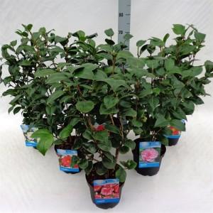 Camellia japonica MIX (Floribras Garden Plants)