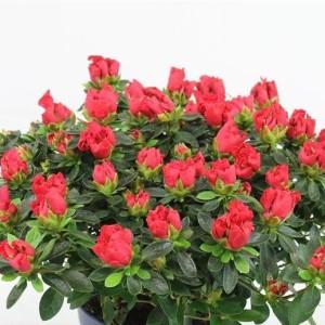 Rhododendron HORTINNO YANKADI SCARLATA