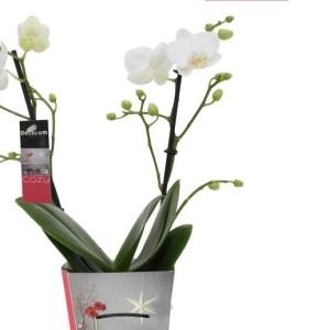 Phalaenopsis SOGO GUAN AMAH (Ter Laak Orchids Multiflora)