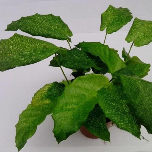 Calathea musaica NETWORK (Gasa DK)