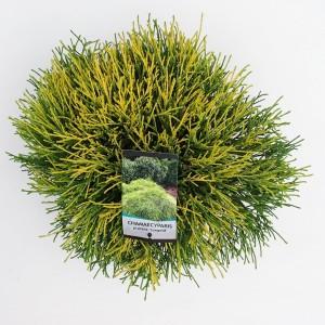 Chamaecyparis pisifera 'Sungold' (Bremmer Boomkwekerijen)