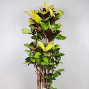Codiaeum variegatum 'Mrs.Iceton'