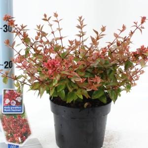 Abelia x grandiflora MYSTIC DAYDREAM (About Plants Zundert BV)