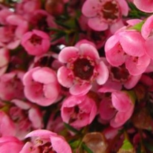 Chamelaucium 'Strawberry Surprise'