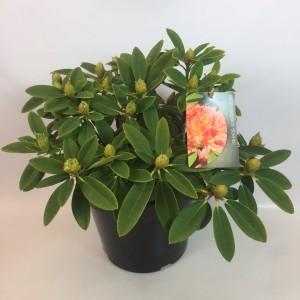 Rhododendron 'Sun Fire'