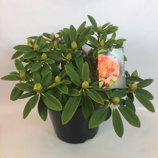 Rhododendron 'Sun Fire' (B.D. Rijnbeek Boomkwekerijen B.V.)