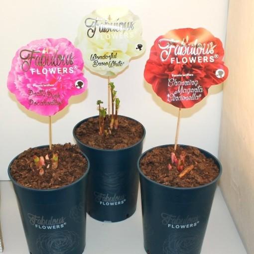 Paeonia FABULOUS FLOWERS MIX (De Jong Plant BV)
