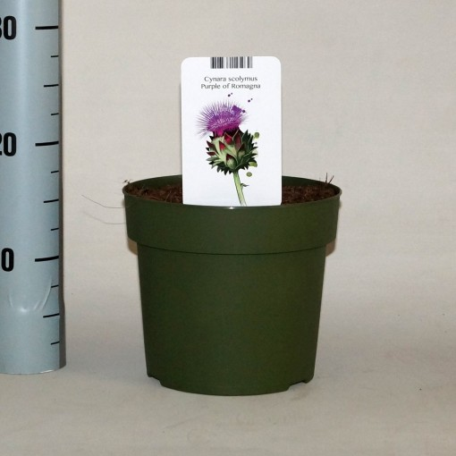 Cynara scolymus 'Purple of Romagna' (BOGREEN Outdoor Plants)