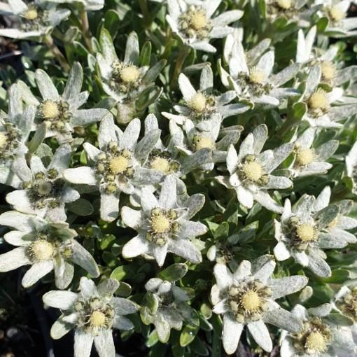 Leontopodium pusillum (Leeuw-den Engelsen)