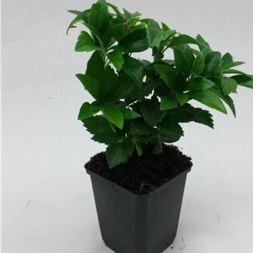 Pachysandra terminalis 'Green Carpet' (WTM de Boer)