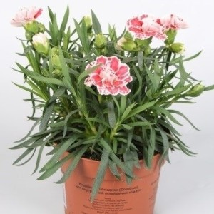 Dianthus SUPER TROUPER SAM