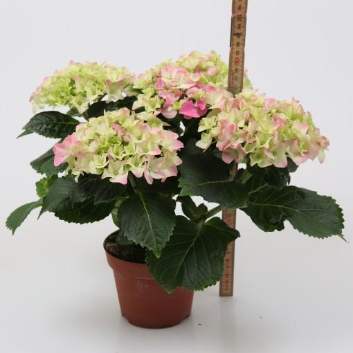 Hydrangea macrophylla EARLY PINK (Gasa DK)