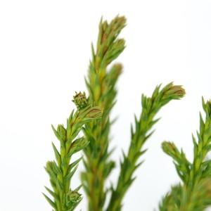 Cryptomeria japonica 'Jindai' (Bremmer Boomkwekerijen)