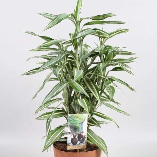 Dracaena sanderiana 'Victory' (Vireõ Plant Sales)